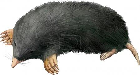 Realistic illustration of mole