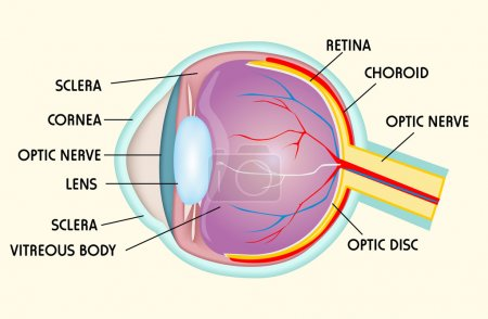 Illustration for Eye structure - Royalty Free Image