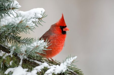 Male northern cardinal sitting in an evergreen tre...