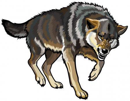 Illustration pour Loup, canis lupus, pose attaquante, illustration vectorielle isolée sur fond blanc - image libre de droit
