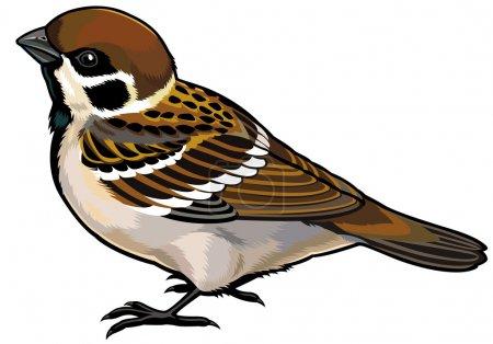 Tree sparrow (passer montanus ) wild bird of Europ...