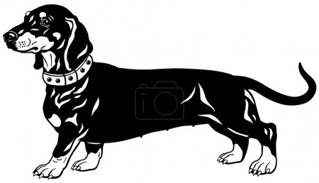Dachshund black white