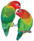 Pair of fischer's lovebirds (agapornis fischeri )  Two small parrots isolated on white background