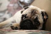 Dog Pug, puppy