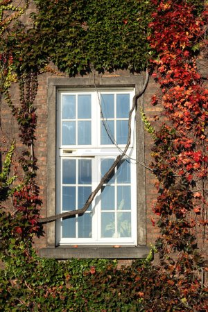 Window in red ivy covered brick wall