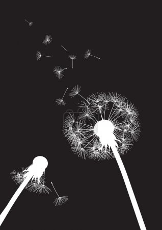 Black and white two dandelions with flying seeds