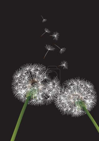 Two dandelions on black background