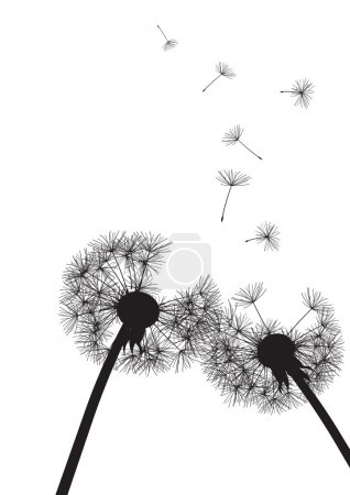 Two black dandelions on white background- vector