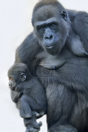 A gorilla mother with her baby, hanging on her arm.