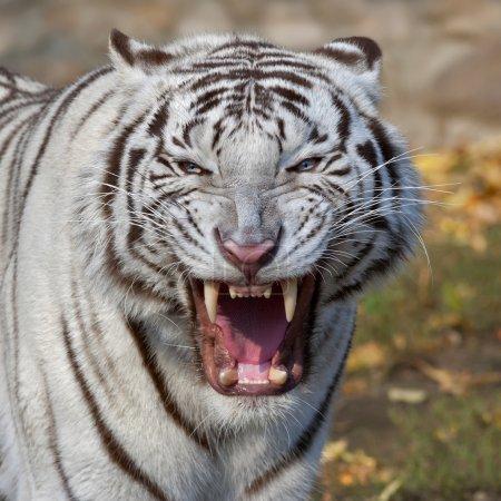 Photo pour Le chat le plus grand et le plus dangereux du monde. Une bête sévère montre ses crocs craintifs. Un puissant rapace sur fond d'automne . - image libre de droit