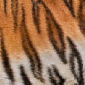 Colorful abstract square texture of Siberian tigress with orange black and white stripes