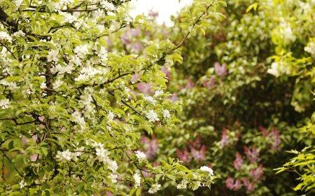 Tree beautiful white flowers buds
