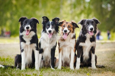 Photo for Group of happy dogs border collies sitting on the grass in summer - Royalty Free Image