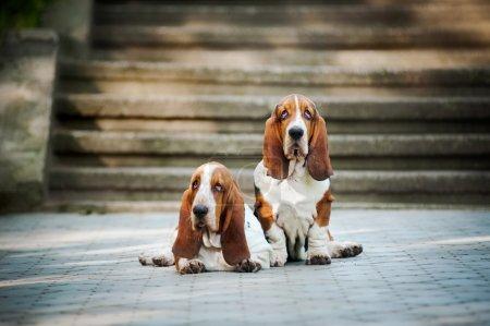 Two Basset hound