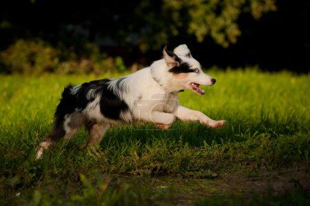 Australian Shepherd merle puppy running