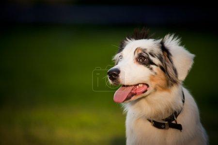Dog Australian Shepherd merle