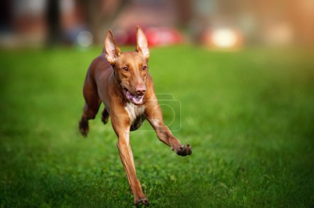 Pharaoh Hound dog running