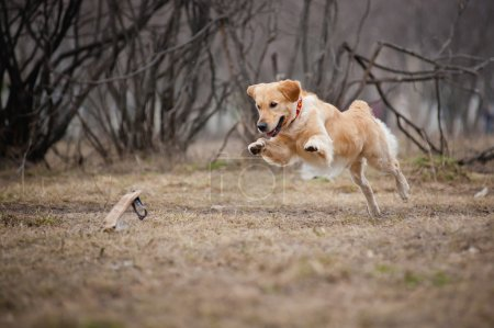 Cute golden Retriever dog playing with a toy