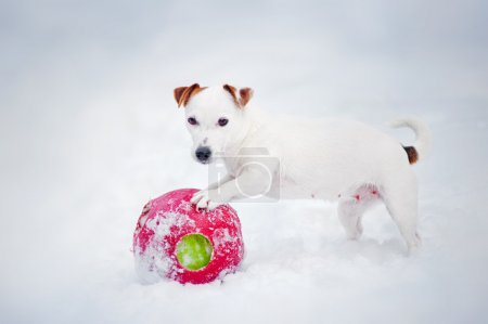Puppy Jack russel terrier playing with ball