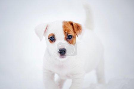 Puppy Jack russel terrier portrait in winter