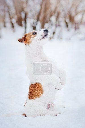 Photo pour Chien Jack russel terrier faire astuce en hiver - image libre de droit