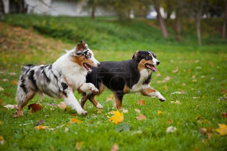 two Australian Shepherds play together