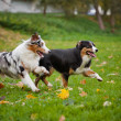 Two Australian Shepherds play together in autumn...