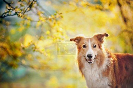 Photo pour Border collie portrait de chien sur le fond de soleil de printemps - image libre de droit