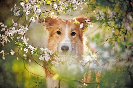 border collie dog portrait in spring