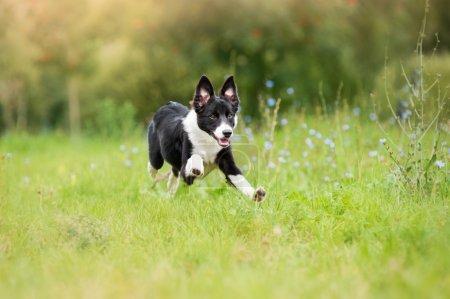 border collie puppy running through a meadow
