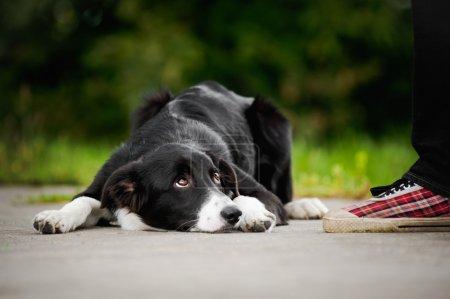 little puppy border collie lying near foot
