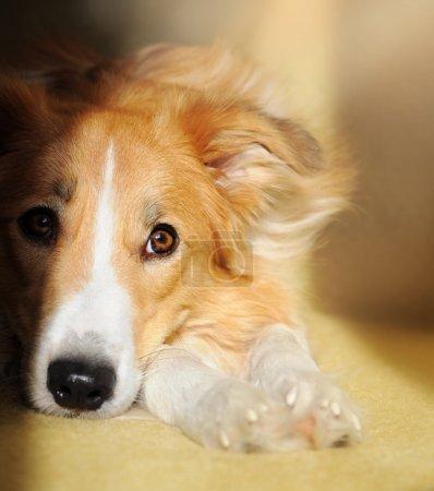 Cute dog border collie dreaming