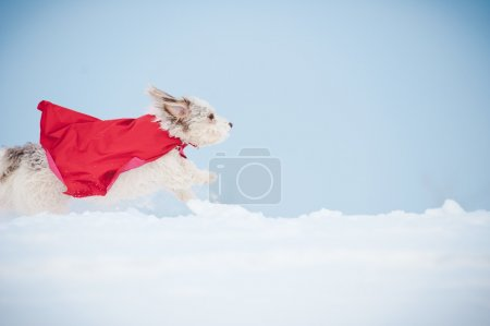 funny curly super dog running