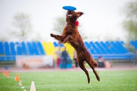 Frisbee Irish setter catching