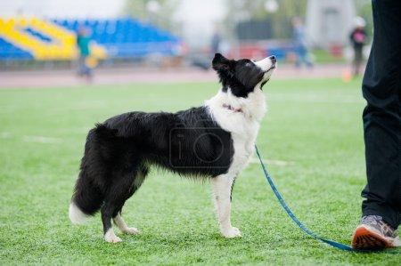 chien border collie