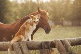 """Постер, картина, фотообои """"Красный пограничный колли собака и лошадь"""""""