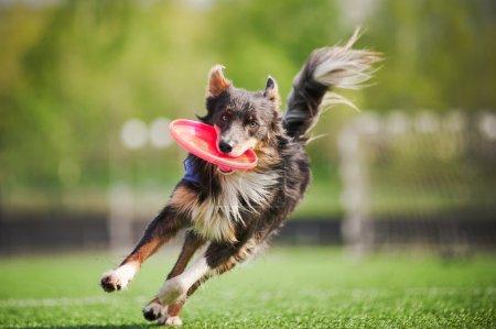 Photo pour Drôle frontière collie chien apporte le disque volant en saut - image libre de droit