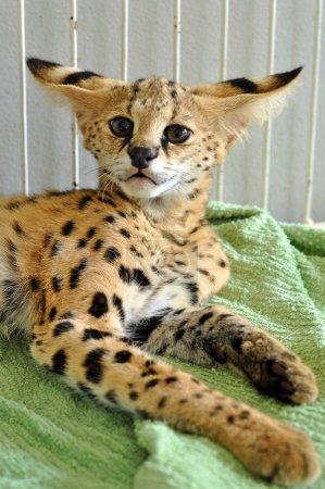 Photo pour Le serval est un chat de taille moyenne. C'est un animal fort mais mince, avec de longues pattes et une queue assez courte. . - image libre de droit
