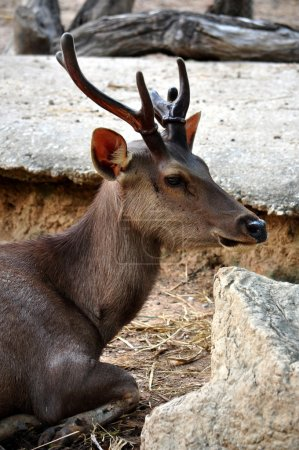 Photo for The Sambar is a large deer native to southern and southeast Asia. - Royalty Free Image