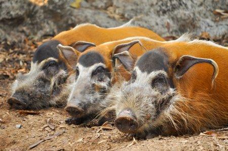 Photo pour Les porcs de rivière rouge sont omnivores et, à l'état sauvage, mangent une variété d'aliments, notamment de l'herbe, des baies, des insectes et des charognes. . - image libre de droit