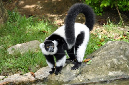 Photo for The black and white ruffed lemur is the more endangered of the two species of ruffed lemurs, both of which are endemic to the island of Madagascar. - Royalty Free Image