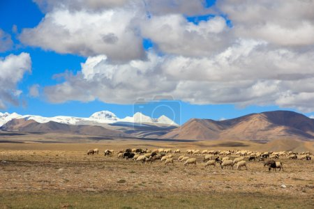 Sheep on Tibetan plateau with snowy peaks of the Himalayas in th