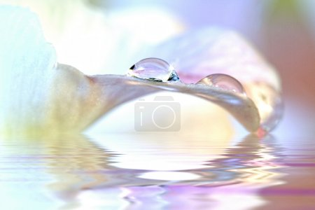 Photo for Beautiful water drops with reflection while resting on top of a petal - almost mystical due to the lily background that appears almost misty - Royalty Free Image