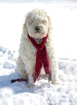 Golden Doodle Dog in Snow