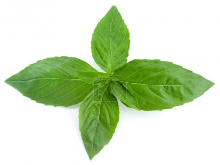 Photo for Basil leaves isolated on white background - Royalty Free Image