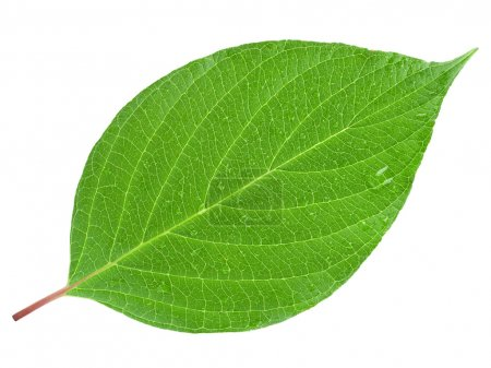 Photo for Green leaf on a white - Royalty Free Image