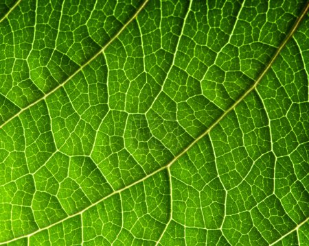 Photo for Macro of fresh green leaf as backgroun - Royalty Free Image