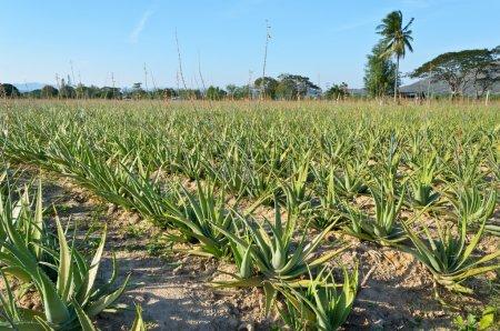 Aloe vera plantatio