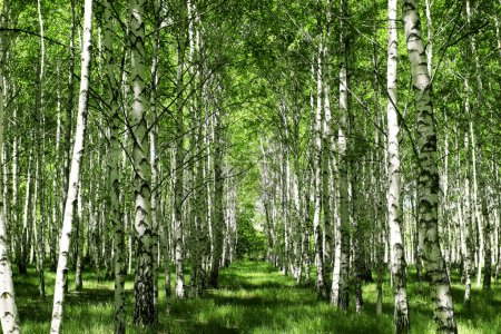 Beautiful birch grove at summer