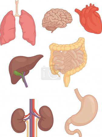 Illustration for A vector set of human body parts: brain, lungs, heart, liver, stomach and intestines. This vector is very good for design that need health or anatomy element. - Royalty Free Image